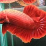Thức ăn cho cá Betta- cá chọi- cá cẩm thạch - thuc an cho ca betta ca choi ca cam thach 150x150