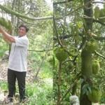 Mô hình trồng Sầu Riêng trái vụ hiệu quả cao - trai sau rieng vu nghich 150x150