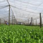 Trồng rau nhà lưới thu tiền tỷ ở Hà Nội - trong rau nha luoi thu tien ty o ha noi1 150x150