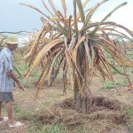 Cách phòng bệnh thối rễ, khô cành trên cây thanh long - trong thanh long 537f7d57c06b76fc6bff3693077b3f8d 150x150