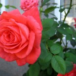 Cách trồng hoa hồng tại nhà bằng khoai tây - tronghoahongbangkhoaitay 150x150