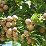 Kỹ thuật trồng hồng xiêm chiết mau ra quả - 02 20 09 119 150x150