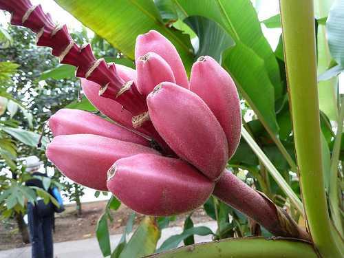 Cây chuối tím hồng độc và lạ - 1436943190 chuoi 2
