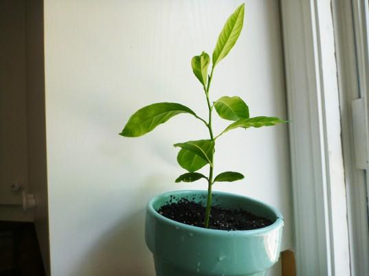 Cách trồng chanh tại nhà dễ như trở bàn tay - 1436975166 lwvtlemon seedling 537x402 ifxl