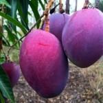 Cây Xoài cho quả màu tím ngắt - 1437358359 xoai1 150x150