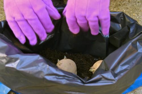 Cách trồng khoai tây bằng túi rác - 1438163971 hands pots 500x333