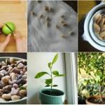 Cách trồng chanh tại nhà dễ như trở bàn tay