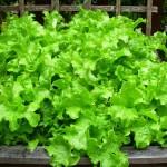 Cách trồng rau xà lách đơn giản từ hạt - 1438682945 cach trong rau xa lach 2 150x150