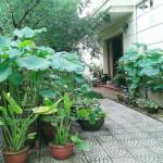 Cách trồng sen khủng tại nhà