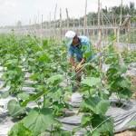 Ưu nhược điểm khi sử dụng màng phủ nông nghiệp
