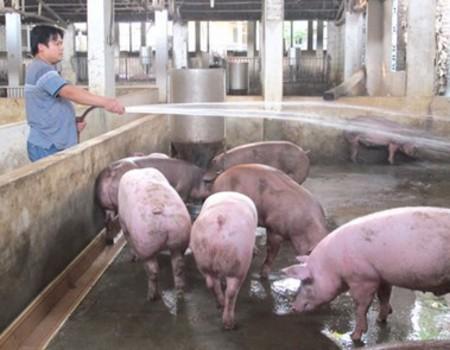 Cách chống nóng cho heo ( lợn ) - Z76 8888 24