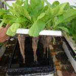 Tìm hiểu về cách trồng rau thủy canh