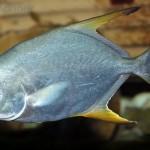 Kỹ thuật nuôi cá chim vây vàng - cachimtrangvayvanggiongchatluongnhatrang 150x150