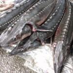 Kỹ thuật nuôi cá tầm trong lồng