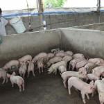Cách nuôi lợn thịt sạch bằng men ủ vi sinh