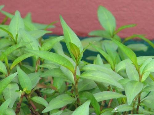 Cách trồng và chăm sóc rau răm - images432527 3745320902 d72090a1e8 o 500x375