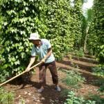 Giải pháp tăng năng suất vườn tiêu - images991172 P1070880 150x150