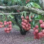 Cách trồng Vải cho ra quả ra từ thân - kk jpg 150x150