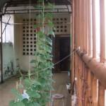 Kỹ thuật trồng cây mướp trong thùng xốp tại nhà - ky thuat trong cay muop trong thung xop nhieu qua nhat.04 150x150