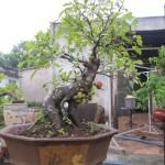 Kỹ thuật trồng cây sung cảnh dáng đẹp 'miễn chê'