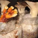 Kỹ thuật trồng nấm sò đùi gà