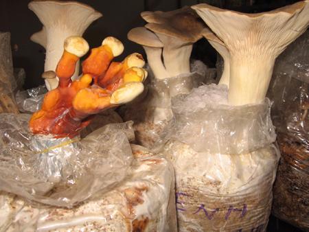Kỹ thuật trồng nấm sò đùi gà - nam dui ga