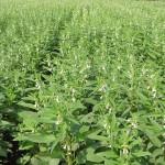 Cách trồng vừng đơn giản, năng suất - p1010039 150x150