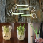 Cách trồng hành lá bằng phương pháp thủy canh - rau 1 1831a 150x150
