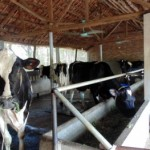Cách chống nóng cho trâu bò trong mùa hè - tang nang suat nho phuong phap chong nong cho vat nuoi trong mua he6 150x150