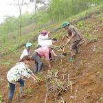 Kỹ thuật trồng sắn trên vùng đất dốc - xa dong an ra quan trong san 150x150
