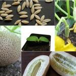 """""""Bí kíp"""" trồng dưa chuột khoai tây: Lạ mắt, ngon miệng - dua chuot khoai tay 1 150x150"""