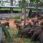 Trang trại lợn, gà rừng lớn hiếm có ở Việt Nam