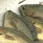 Hấp dẫn nghề nuôi cá rô đồng - 20741775 images1410807 caroto 150x150