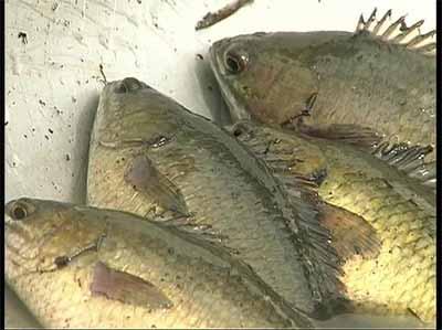 Cá rô đồng là loài cá bản địa, có chất lượng thịt rất ngon.