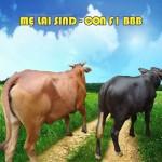 Kỹ thuật nuôi bò lai SIND - 7su143435689 150x150