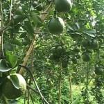 Kỹ Thuật trồng cam sành hạn chế bệnh Greening