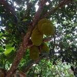 Kĩ thuật chăm sóc cây mít giúp tăng năng suất
