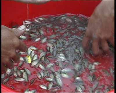 Tự nhân cá rô giống.