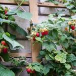 Cách trồng mâm xôi nhà đảm bảo có quả - cay mam xoi ra qua 150x150
