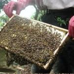 Kỹ thuật nuôi ong lấy mật - ky thuat nuoi ong 150x150