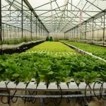 Trồng rau sạch không cần đất - trong rau sach khong can dat jpg 150x150