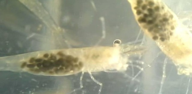 giap-xac-krill