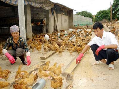nuôi-gà-thịt-farmvina.com_