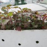 """Ông bố trẻ """"mát tay"""" trồng rau sạch trên sân thượng cho con ăn dặm - 1434170753 gxsb1431503714 img 7594 150x150"""