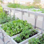 """Rộ mốt """"hô biến"""" ban công, sân thượng thành vườn rau của dân Thủ đô - 1434342559 oprh20140106161253 rau xanh1 xkga 150x150"""