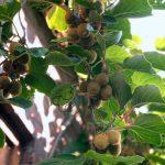 Cách trồng kiwi tại nhà đơn giản