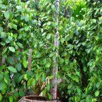 Cách trồng Tiêu trong chậu sai chi chít quả - 1440471429 tieu5 150x150