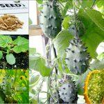 """Cách trồng giống dưa chuột """"quái đản"""" nhất thế giới không khó"""