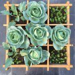 Cách trồng bắp cải tại nhà để tình yêu cuộn tròn trong lá