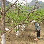 Kĩ thuật trồng cây Na